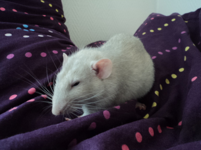 Mes nouveaux rats Dsc01932