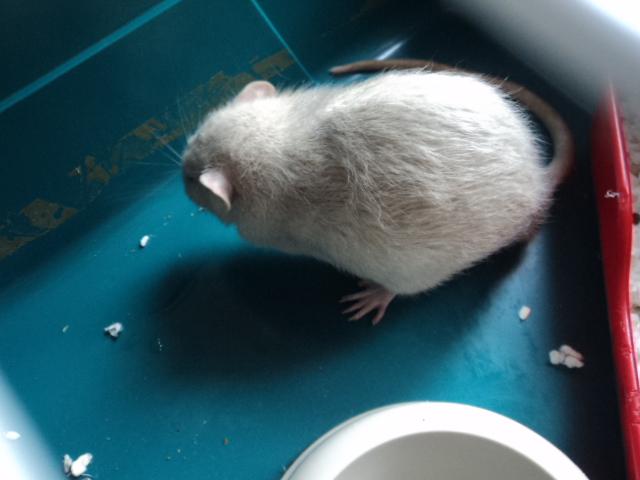 Mes nouveaux rats Dsc01933