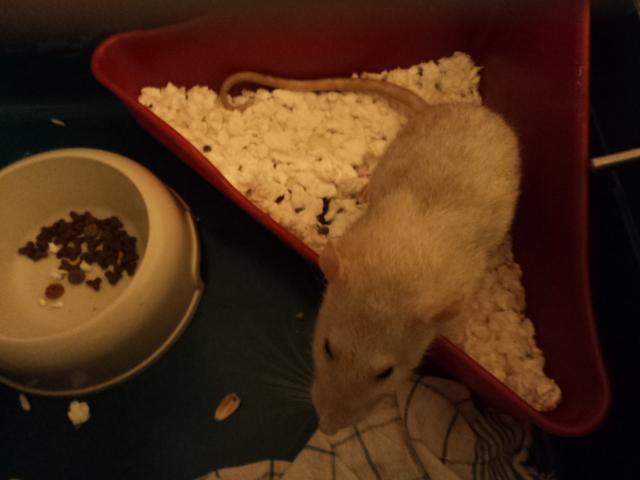 Mes nouveaux rats Dsc01935