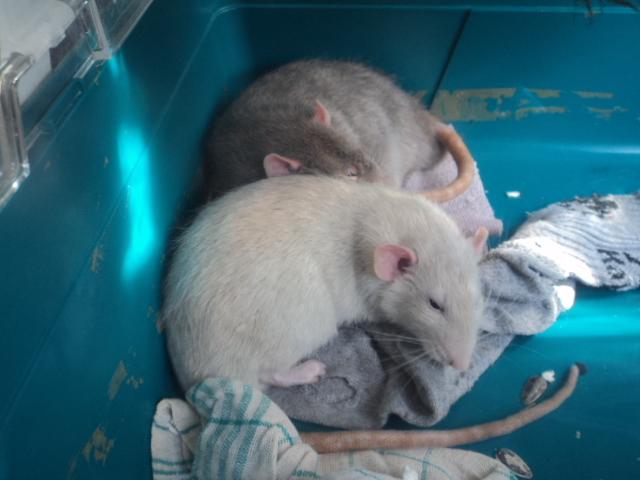 Mes nouveaux rats Dsc01937