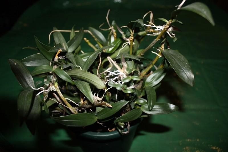 Dendrobium oder was? Bild112