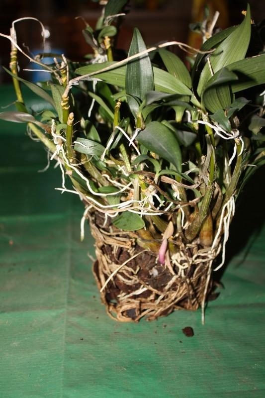 Dendrobium oder was? Bild412