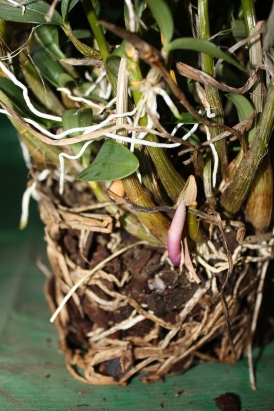Dendrobium oder was? Bild512