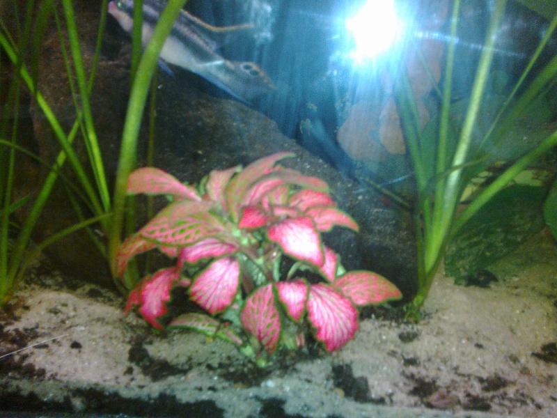 Plante d'aquarium 18082012