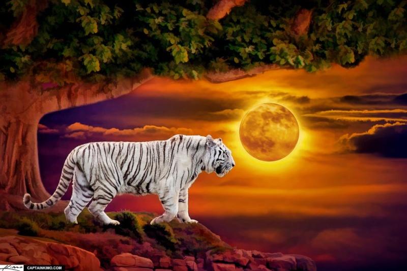 fond d'écran tigres Tigre_11