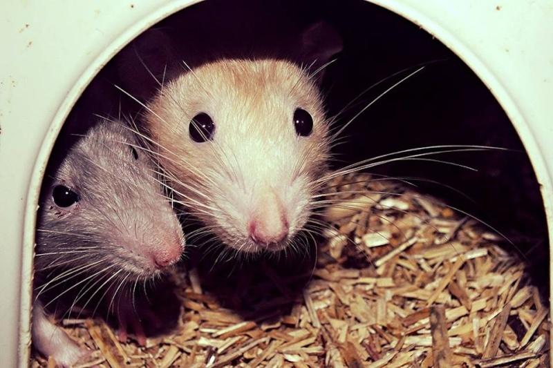 Les RatsCapables de Titia ! 10017210