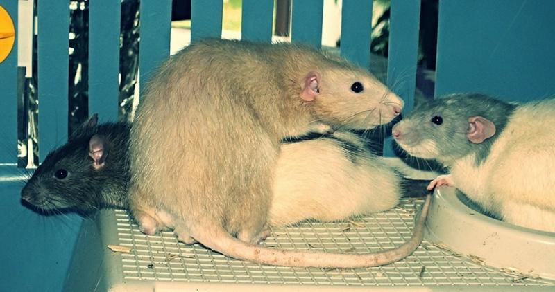 Les RatsCapables de Titia ! 11859810