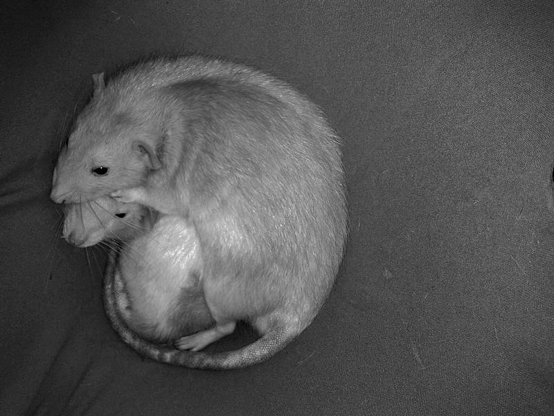 Les RatsCapables de Titia ! 2013-011