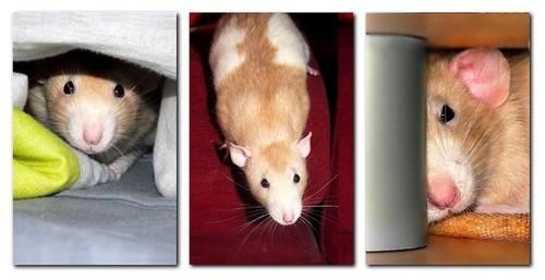 Les RatsCapables de Titia ! Alpha10