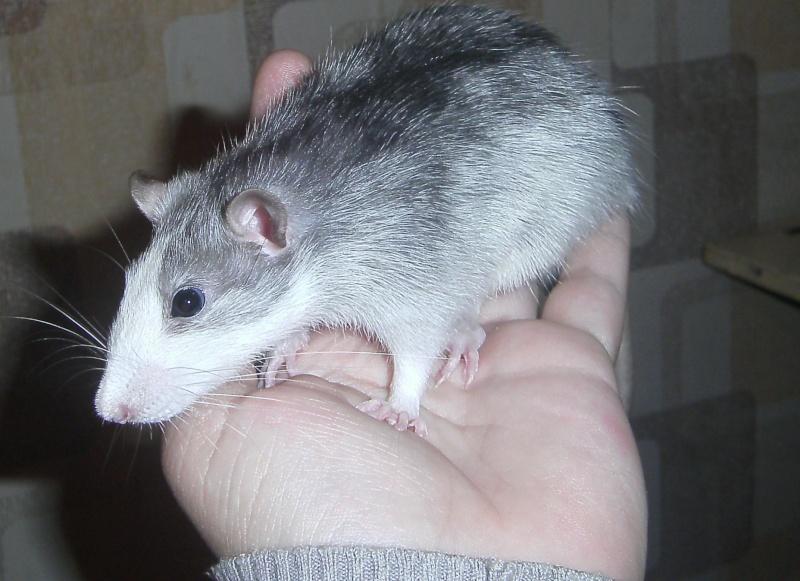 Les RatsCapables de Titia ! Pict0010