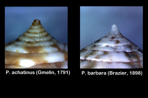 Conus (Pionoconus) barbara  Brazier,1898 Image110