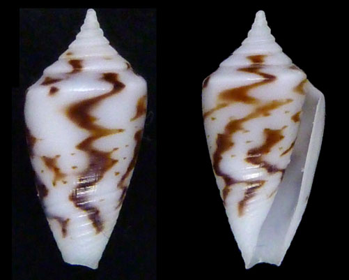 Conasprella (Ximeniconus) wendrosi (Tenorio & Afonso, 2013) Sans-t10