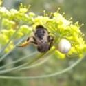 voilà comment termine une vaillante abeille !!!!!! Dscn1210