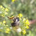 voilà comment termine une vaillante abeille !!!!!! Dscn1212