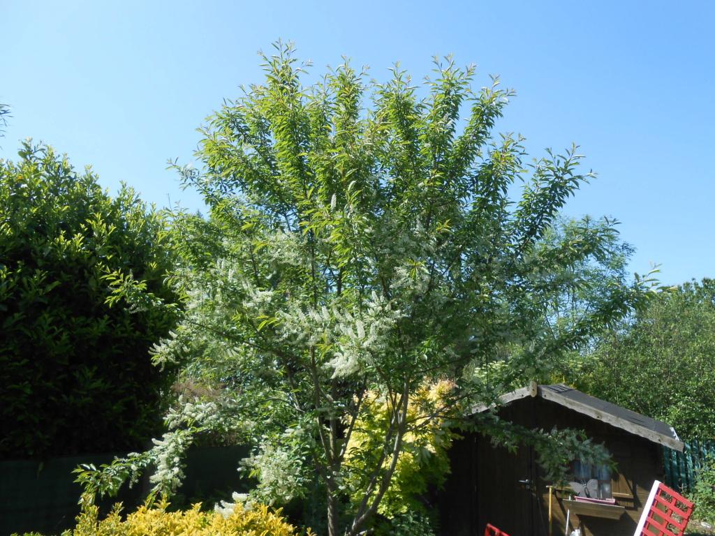 arbuste inconnu :  prunus padus - Page 2 Dscn4166