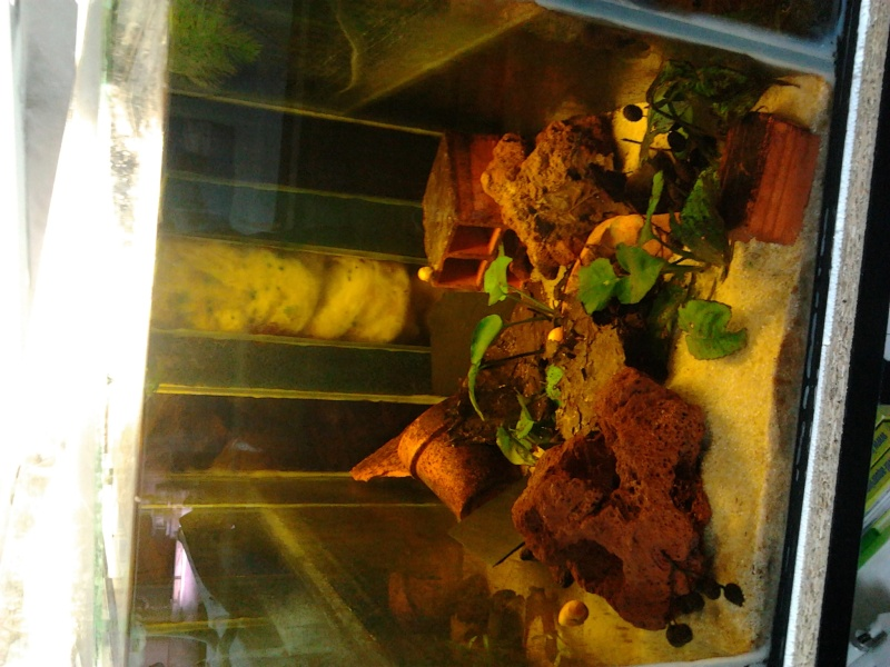 Ecrevisse cherax holthuisi orange tip  Photo012