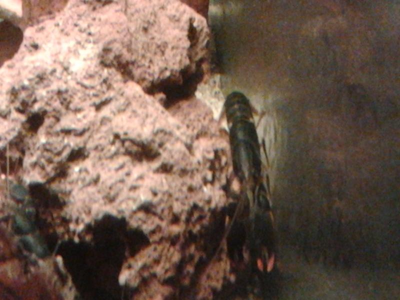 Ecrevisse cherax holthuisi orange tip  Photo032