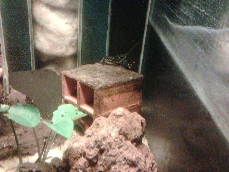 Ecrevisse cherax holthuisi orange tip  Photo034