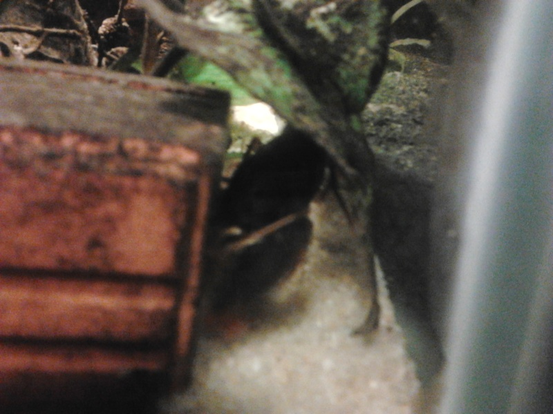 Ecrevisse cherax holthuisi orange tip  Photo036