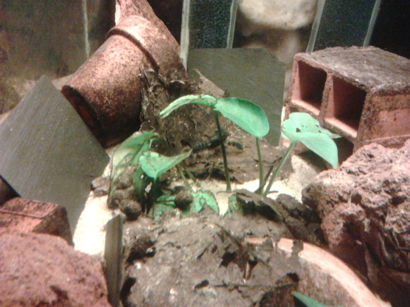 Ecrevisse cherax holthuisi orange tip  Photo038