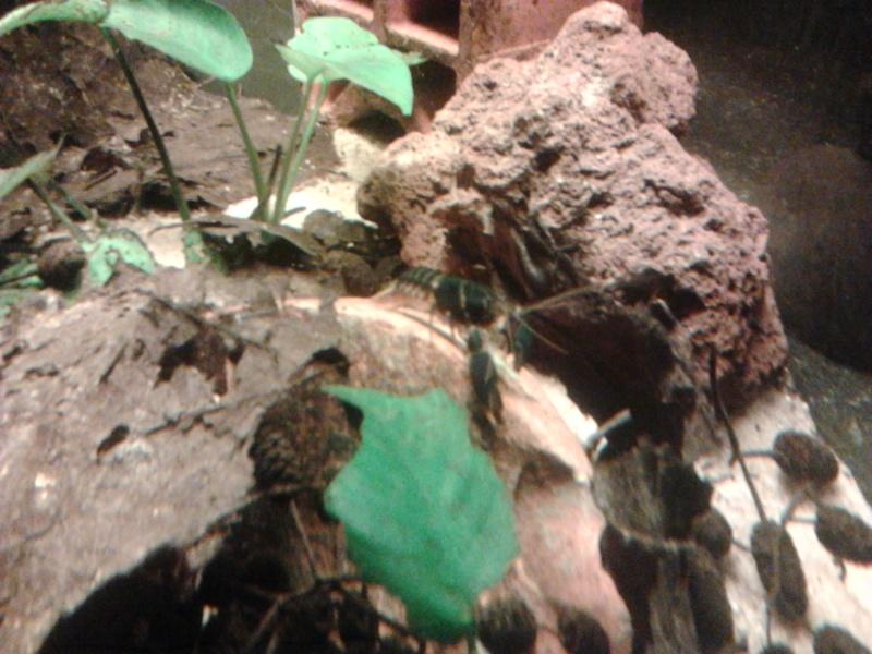 Ecrevisse cherax holthuisi orange tip  Photo044