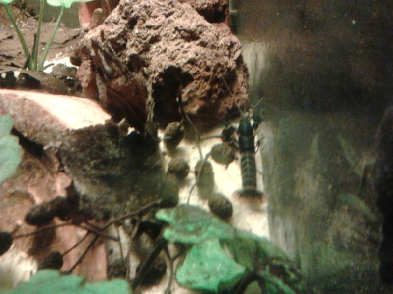 Ecrevisse cherax holthuisi orange tip  Photo046