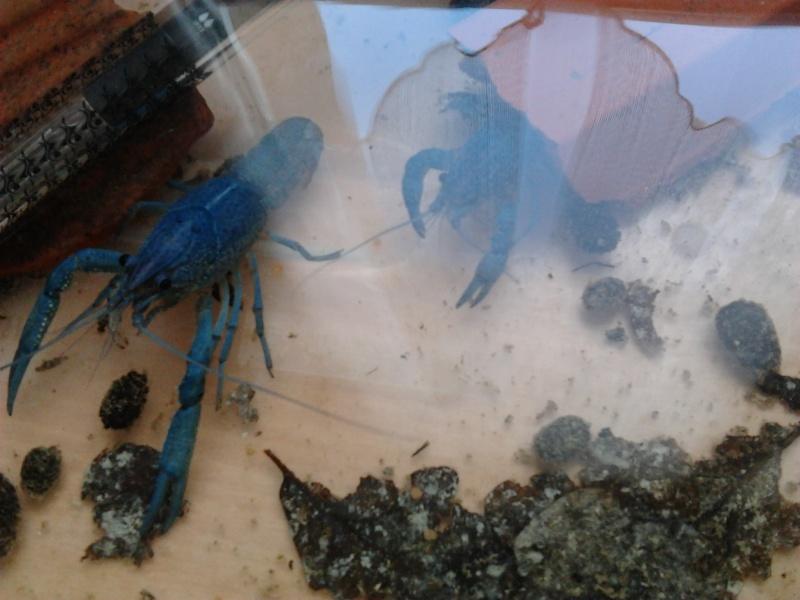 Vend / Echange Ecrevisse Procambarus Alleni Photo111