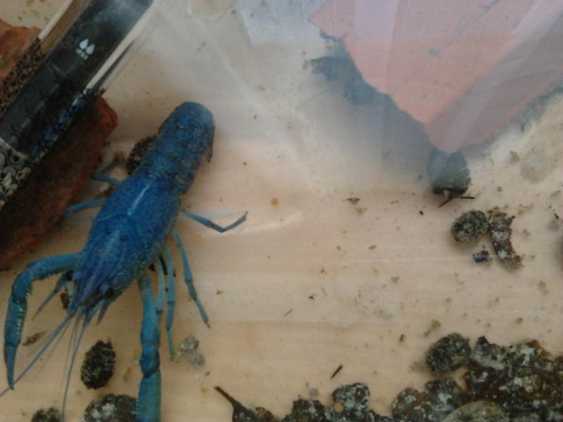 Vend / Echange Ecrevisse Procambarus Alleni Photo113