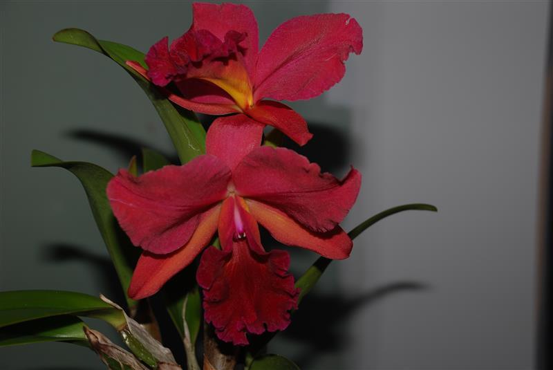 Identification Cattleya Dsc_5114