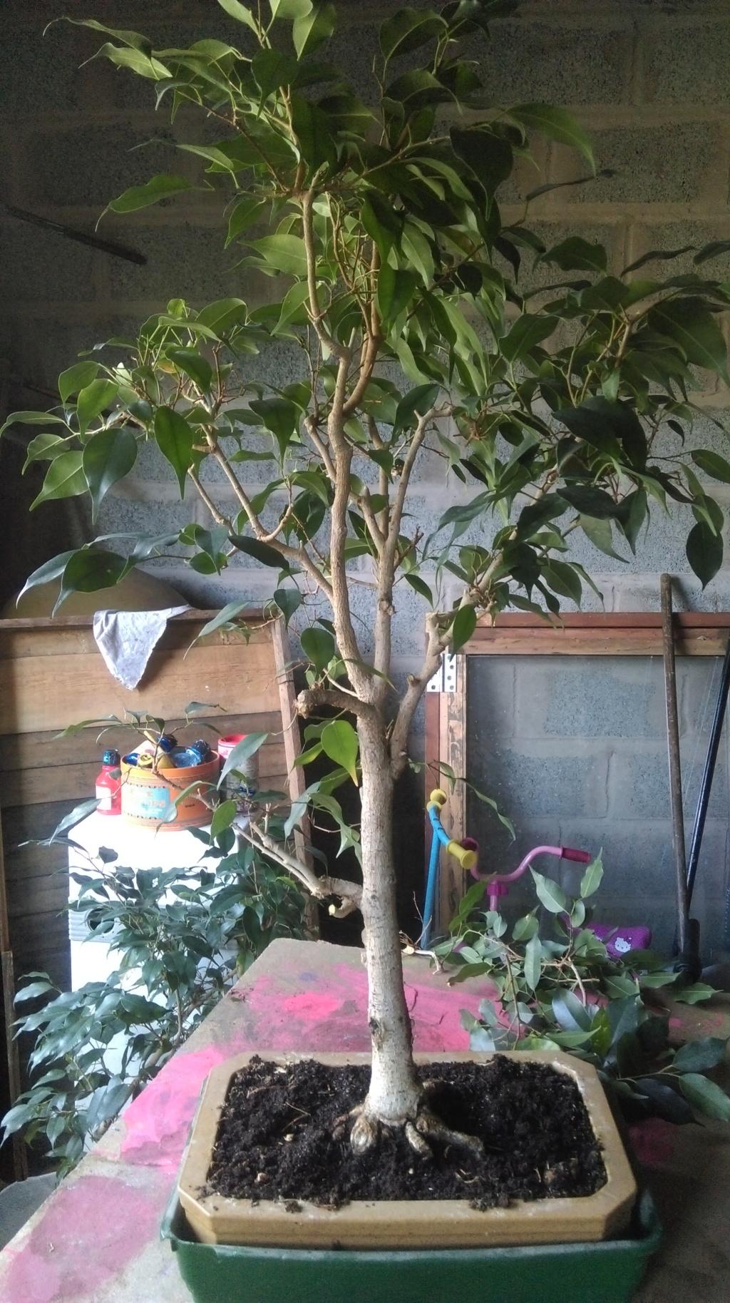 Noble Ficus Imag1110