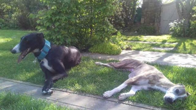 Tina jeune galga noire et blanche 1 an 1/2 Adoptée 20190413