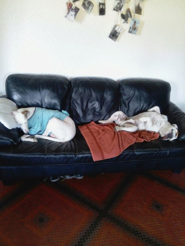 Debby adorable galga blanche tendre et câline Adoptée  - Page 3 40178210
