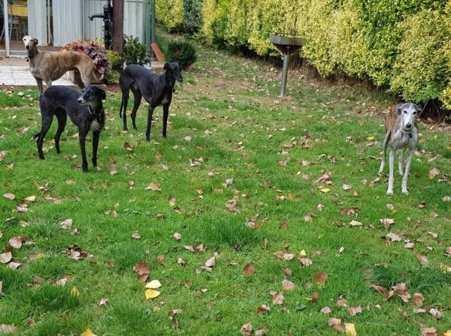 Elmer galgo noir Adopté  41341710