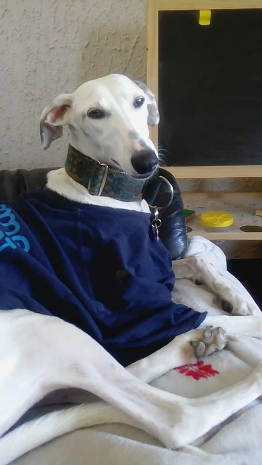 Debby adorable galga blanche tendre et câline Adoptée  - Page 3 41515010