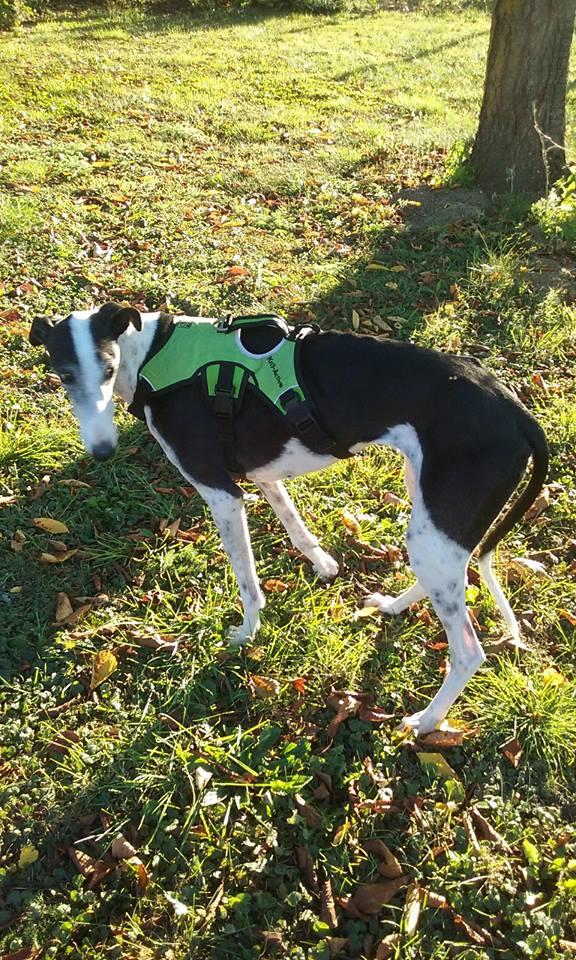 Cuquy galga douce née en 2012  Scooby France Adoptée  43169810