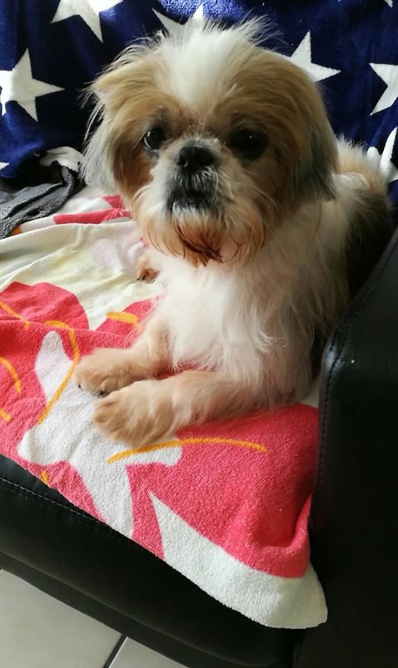Princesse shih tzu de 6/7 ans Adoptée  44455610