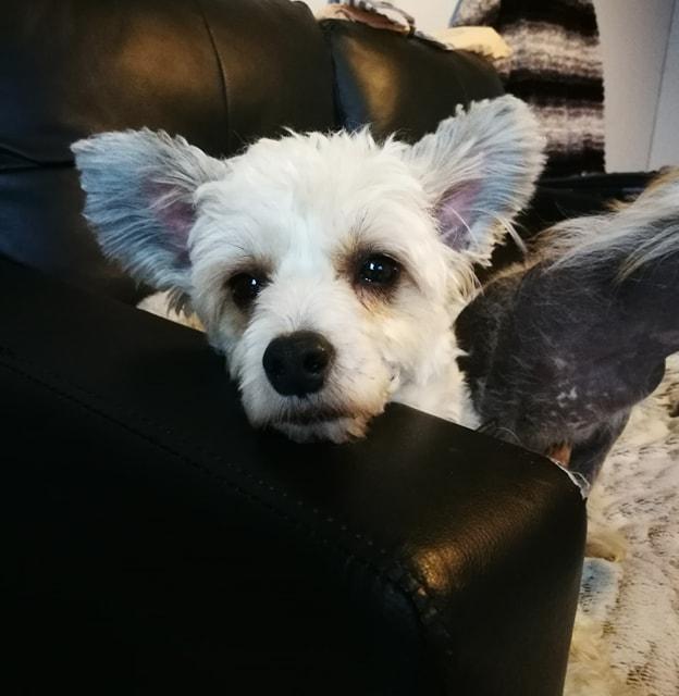 HARRY petit croisé chinois de 3 ans Adopté  56158310