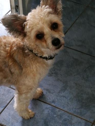 HARRY petit croisé chinois de 3 ans Adopté  56340010