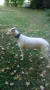 Debby adorable galga blanche tendre et câline Adoptée  - Page 2 Dsc_0211