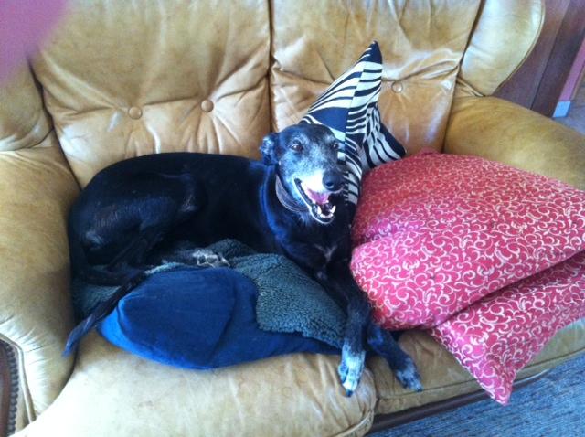 Mora petite galga noire de 9 ans à l'adoption ,en accueil dans le 33Adoptée Photo_10