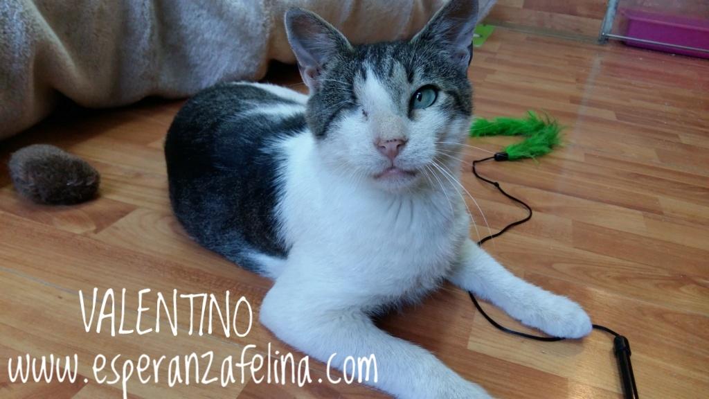 Valentino, gatito muy especial busca hogar. +INMUNO. Álava (F.N aprox. 14/11/2012) 20180711