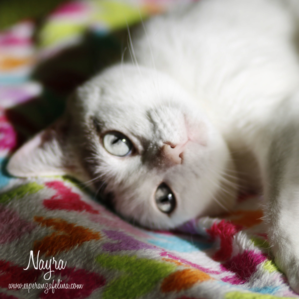 Nayra, gatita de ojos cautivadores en adopción. Alava (Fecha Nac. aprox: 11-08-2015) _mg_3511