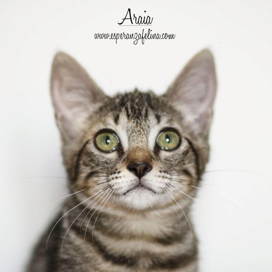 Araia y Pepper, preciosas gatitas buscan hogar. Alava (Fec. Nac. Aprox. 14/04/2018) Araia10