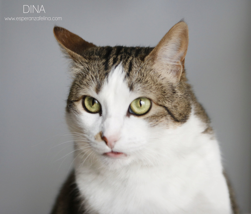 Dina, preciosa gata busca su hogar (Álava, fecha de nacimiento aproximada 10/04/2014 ) Dina10