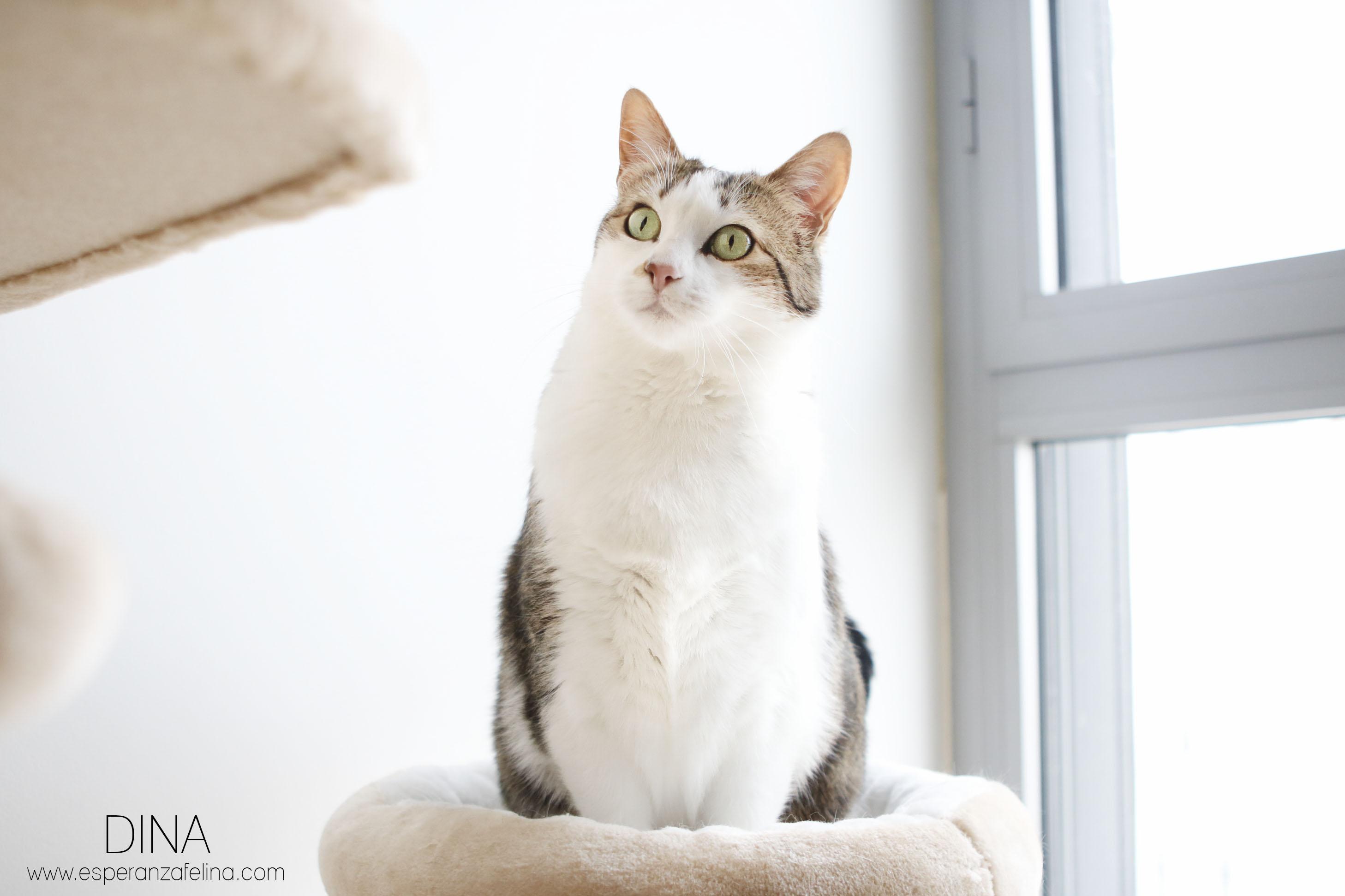 Dina, preciosa gata busca su hogar (Álava, fecha de nacimiento aproximada 10/04/2014 ) Dina310