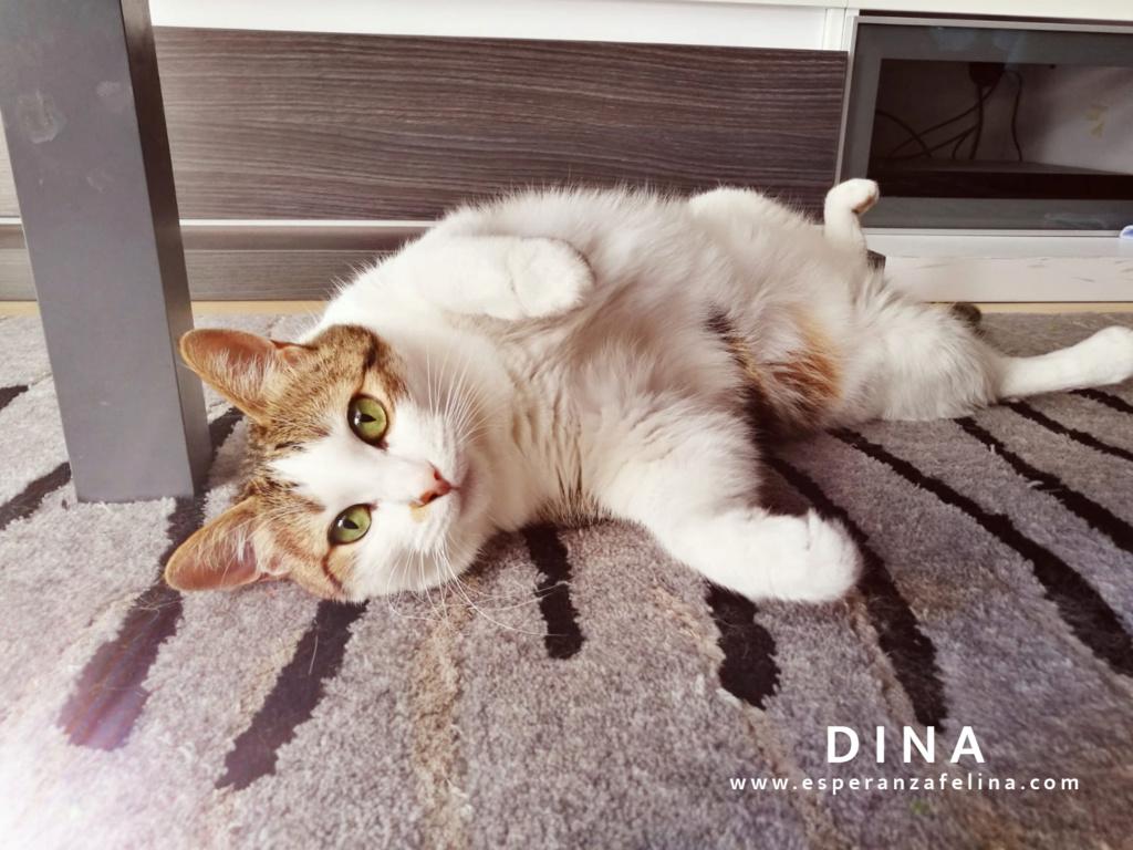 Dina, preciosa gata busca su hogar (Álava, fecha de nacimiento aproximada 10/04/2014 ) Dina_e10