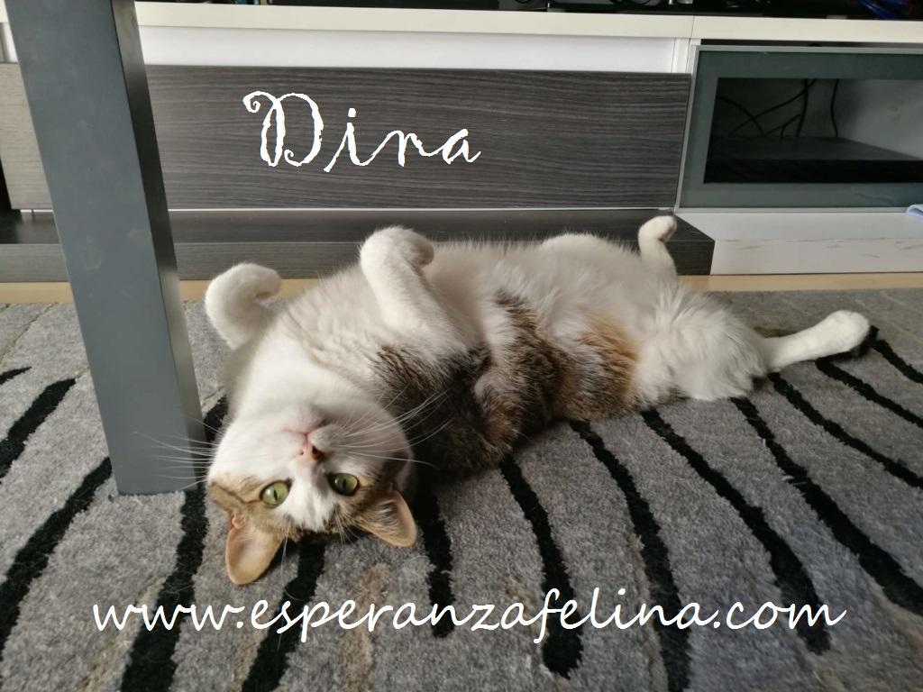Dina, preciosa gata busca su hogar (Álava, fecha de nacimiento aproximada 10/04/2014 ) Dina_e11