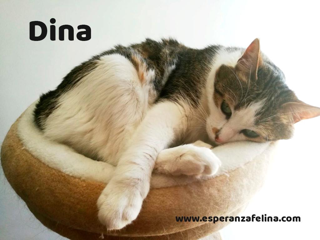 Dina, preciosa gata busca su hogar (Álava, fecha de nacimiento aproximada 10/04/2014 ) Dina_e12