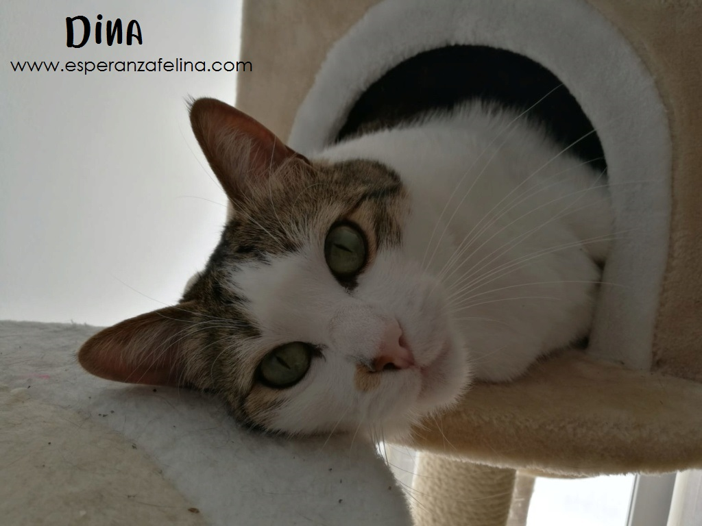 Dina, preciosa gata busca su hogar (Álava, fecha de nacimiento aproximada 10/04/2014 ) Dina_e15