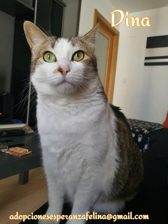 Dina, preciosa gata busca su hogar (Álava, fecha de nacimiento aproximada 10/04/2014 ) Dina_e16